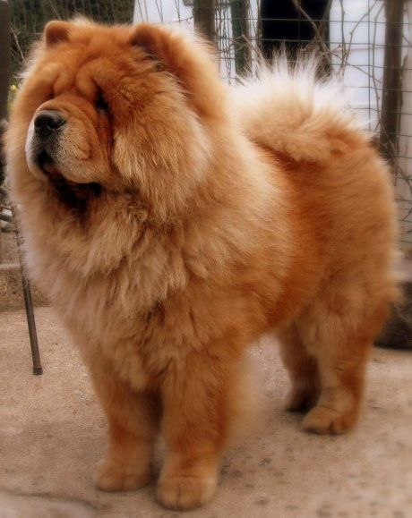 chien chow chow
